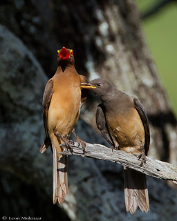 Red-billed Oxpecker & fledgling