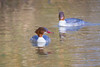 Female Goosanders (www.andystuthridgenatureimages.co.uk) Tags: goo sander female swimming lake winter sawbill duck water bird devon
