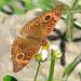 Mangrove buckeye - Florida  (Junonia genoveva)