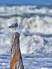 GULL ON A STUMP REFRAMED (Wolf Creek Carl) Tags: ocean surf waves stump bird seagull shorebirds wildlife nature outdoors florida portstjopeninsula