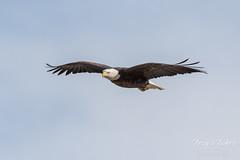 Female Bald Eagle soars with ease
