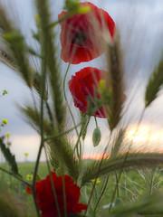 Amapolas (José Varela) Tags: amapolas flores campo lx5 lumix panasonic naturaleza