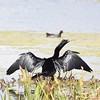 Darter (MJ Harbey) Tags: water bird wildbird grass lagoon orlandowetlandspark florida usa nikon d3300 nikond3300 moorhen darter anhingidae
