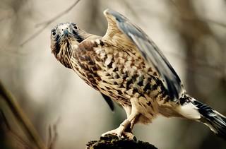 Broad-winged Hawk -  (Buteo platypterus)