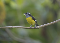 Trinidad (richard.mcmanus.) Tags: trinidad rainforest caribbean westindies bananaquit tropics bird animal mcmanus