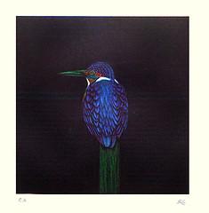 Common kingfisher (Japanese Flower and Bird Art) Tags: bird common kingfisher alcedo atthis alcedinidae matazo kayama modern intaglio print japan japanese art readercollection