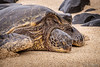 Pacific Green Sea Turtle (Evan Gearing (Evan's Expo)) Tags: hawaii hookipabeach maui paia places greeneseaturtle hi turtle unitedstates us pacificgreeneseaturtle