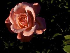 Peachy Rose (Padmacara) Tags: flower rose shadowlight g11 leaf explored