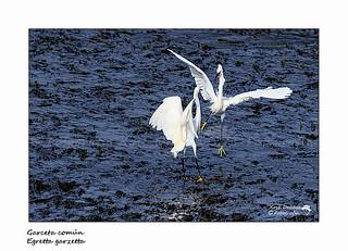 Garceta común -  Egretta garzetta -  Little Egret