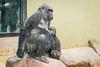 2018-02-16-11h56m01.BL7R9368 (A.J. Haverkamp) Tags: canonef100400mmf4556lisiiusmlens shae shindy amsterdam noordholland netherlands zoo dierentuin httpwwwartisnl artis thenetherlands gorilla sindy pobrotterdamthenetherlands dob03061985 pobamsterdamthenetherlands dob21012016 nl