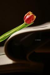 Tulip (maresaDOs) Tags: tulips tulipano flower floral tulipas love nikond3300 nikon color book libro
