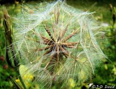 La fin du pissenlit ! (jean-daniel david) Tags: fleur fin macro closeup nature brun vert blanc verdure pelouse graine bokeh