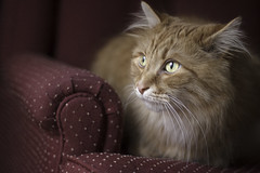 Clem Thursday: Handsomeness (Photo Amy) Tags: adorable aminal canon50d cat cuddly cute cuteness ef50mm18 eartufts feline fluffy fur furry ginger kitten longhair longhaired orange pet precious red tabby toefur whisker whiskers