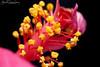 Hibiscus rosa-sinensis pollen grains (Gabriel Paladino Photography) Tags: macro closeup hibiscus polen pollen flor flower bloom detail grains grano laowa venus 60mm canon 77d eos 9000d