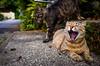 big yawn (Kyoto) (Marser) Tags: gr grd ricoh raw lightroom japan kyoto cat yawn onthedownlow 京都 猫 貓