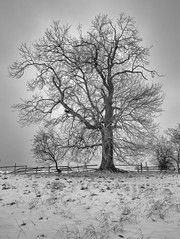 Resilience (S Marwood) Tags: fenceline fencing horizon britain simple lonely lone white black photo canon canon700d sky grass fence chill landscape rural countryside yorkshire ryedale howardianhills frost freeze cold winter snowy snowscape snow blackandwhite monochrome mono tree