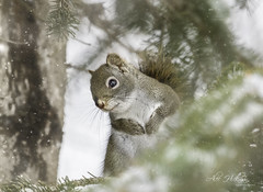 Up in the tree (Alec_Hickman) Tags: snow flurry winter wildlife nature squirrel redtail tree fir christmastree canada newbrunswick animal pose portrait details fur branch
