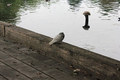 Cold Pigeon (avsfan1321) Tags: london england uk unitedkingdom stjamesspark lake pond stjamessparklake water pigeon