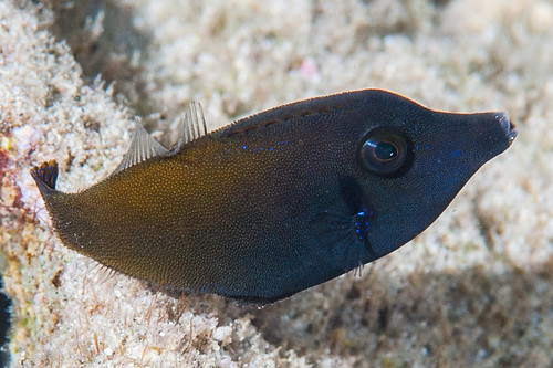 Blackbar Filefish, subadult - Pervagor janthinosoma