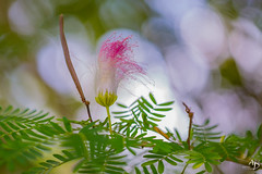 fleur (alain_did) Tags: nature flowers bokeh couleurs green