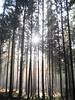 Sonnenstrahlen im Wald (ConnY_P) Tags: wald bäume sonne sun sonnenstrahlen hessen nature niedernhausen germany märchenhaft