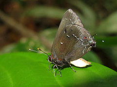 Michaelus joseph (Camerar 4 million views!) Tags: butterfly lycaenidae michaelusjoseph peru butterflies insect