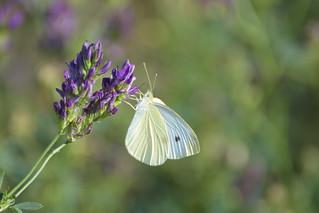 Blanca de la col (Pieris rapae)