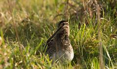 Snipe (Mightily Oats) Tags: londonwetlandscenter sigma150600mmc nikond7200 nature bird snipe