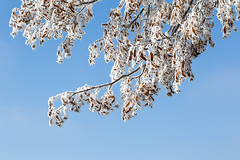 wintery (++sepp++) Tags: bayern deutschland graben lechfeld länder de kalt cold winter hoarfrost raureif bavaria germany baum tree sonnig sunny natur nahaufnahme nature äste branches