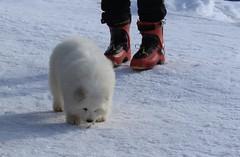 adorable boule de poils (bulbocode909) Tags: valais suisse ovronnaz loutze chiens nature montagnes chaussuresderandonnée neige hiver rouge