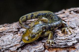 Arizona tiger salamander