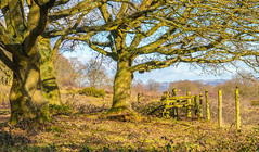 Oak Trees In Winter Sunshine(And A Little Robin If you Can See It) (williamrandle) Tags: kinveredge southstaffordshire england uk winter 2018 heathland pasture woodlands trees oaktrees fgence robin bird sunshine golden landscape lightandshade shadows panasoniicdmcg6