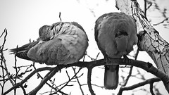 Tranquil Moments:  Eurasian Half-Collared Dove Pair (Ginger H Robinson) Tags: tranquil moment eurasian halfcollared dove pair rest sleep cold snowy morning rockymountain frontrange colorado