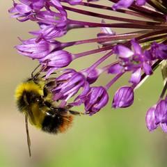 RHS Chelsea Flower Show - 2017 (2) (Padski1945) Tags: rhschelseaflowershow rhschelseaflowershow2017 chelseaflowershow chelseaflowershow2017 royalchelseahospital london londonsw34sr londongardens londonscenes flora flower flowers bumblebee bee