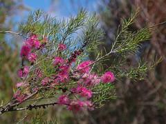 Melaleuca lateritia x teretifolia, Harrisdale Swamp, Jandakot Regional Park, near Perth, WA, 21/11/17 (Russell Cumming) Tags: plant melaleuca melaleucalateritiaxteretifolia myrtaceae harrisdaleswamp jandakotregionalpark perth westernaustralia