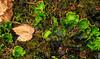 Yoho River, Yoho National Park (aud.watson) Tags: canada britishcolumbia canadianrockies columbiashuswapregion transcanadianhighway route1 yohonationalpark yohovalleyroad kickinghorseriver yohoriver plants shrubs moss seedlings drymontaneforest lichen foliose field ca