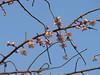 枝垂梅 (nofrills) Tags: flora floral blossom blossoms winter spring plum plums plumblossom tree trees urbannature urbantree 梅 ウメ 枝垂れ梅 枝垂梅 japan prunusmumeformpendula prunusmume weepingplum