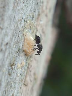 Eurytomidae f