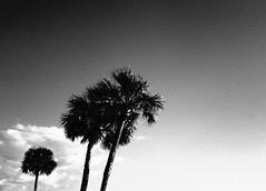 Palms (brotherM) Tags: lores digitalharinezumi florida lidokey monochrome blackandwhite trees palms palmtrees