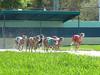 Palm Beach Kennel Club (jmaxtours) Tags: palmbeachkennelclub dograces dogtrack races greyhounds racetrack palmbeach florida fla fl usa