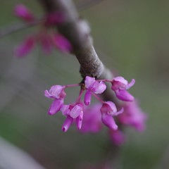 Redbud (bamboosage) Tags: meyer optik gorlitz oreston 1850 m42