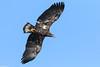 American Bald Eagle - Jan-13-2018 (21-1) (JPatR) Tags: 2018 americanbaldeagle baldeagle foxrivervalley illinois january kanecounty bird eagle nature raptor wildlife winter