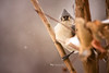 tufted titmouse close (The Gaggle Photography | Jessica Nelson) Tags: birds bird tufted tuftedtitmouse wildlife nature