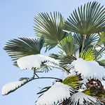 Palm tree on snow