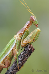 Mantidae (Haris Prin) Tags: sonyilce7m2 canonmpe65 manfrotto190xprob newport423linearstage zerenestacker mantidae mantis fieldstack naturallight metabonessmartadaptermarkiv macro colors mantodea insects bug