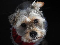 Portrait of a young dog (petermorton42) Tags: dieselportrait portrait christmas xmas