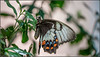 0O1A4843 (kth_friend) Tags: activities australianplaces glenroy nsw papilioaegeus australiaday butterfly orchardswallowtail