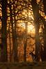 'My Golden Wood' (Jonathan Casey) Tags: deer fallow stag buck holkham norfolk uk nikon d810 400mm f28 vr sunrise sunset