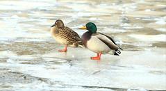 Mallards- (Mick Lowe) Tags: ice lake frozen winter mallard male female pair duck
