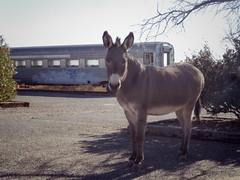clarkdale burros at train station (EllenJo) Tags: clarkdalearizona clarkdaleburros donkeys burros february february2 2018 ellenjo verdecanyonrailroad traindepot clarkdale pentaxqs1 pentax parkinglot unrestoredbuddcar sidetrack